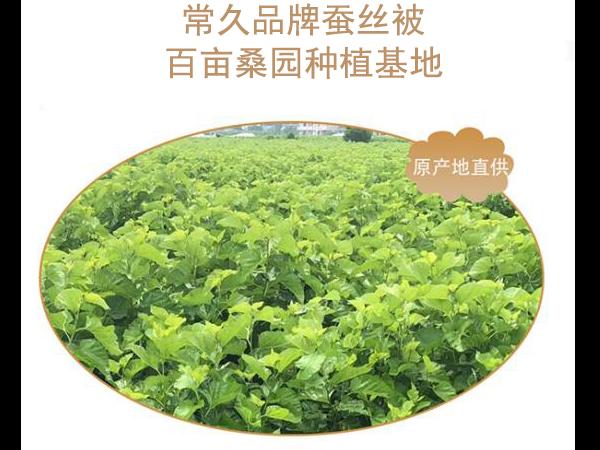 上海江苏的桑蚕丝被价格-养蚕基地出好丝[常久]